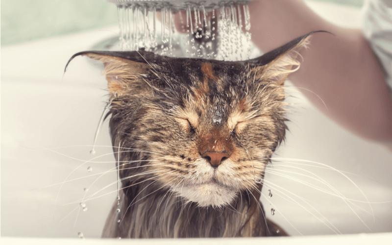 猫にシャンプーは必要なの?正しいシャンプーの仕方と嫌がる場合の対策