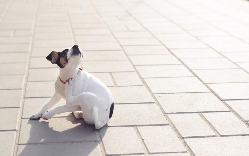 犬のフケはシャンプーでできる?病気の可能性はあるの?フケの原因と予防する方法
