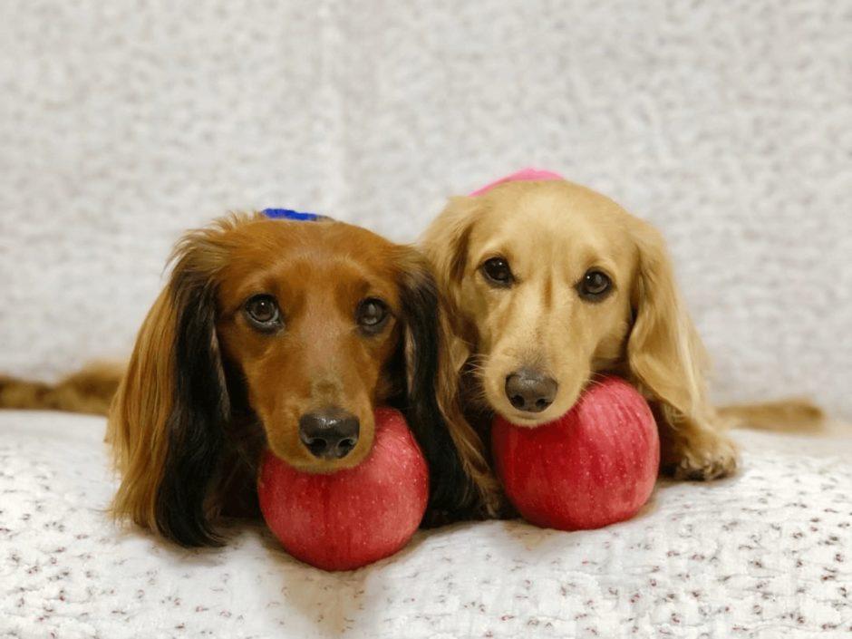 犬 りんご