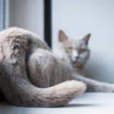猫の去勢・避妊はいつするの?性別ごとのベストな時期や手術の注意点などを解説!