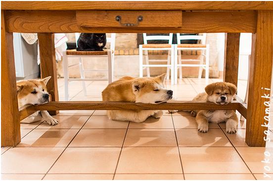 海外でも人気の秋田犬!秋田犬の魅力を綴るブログに大注目!