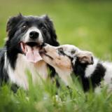 犬の発情期はオスとメスで違う?発情のメカニズムと行動・飼い主の注意点とは