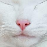 猫の鼻は健康のバロメーター 猫の鼻でわかることと鼻チューの意味とは