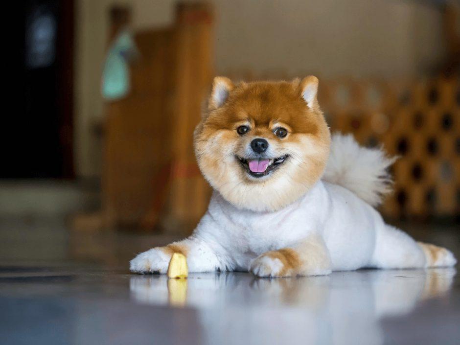 柴犬カットのポメラニアン