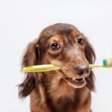 犬の歯磨きって必要!?磨く頻度や嫌がらない方法を徹底解説!