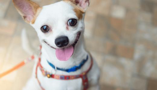 犬の生理は期間が決まっている?始まったときに注意すること7つとおすすめ用品7選!