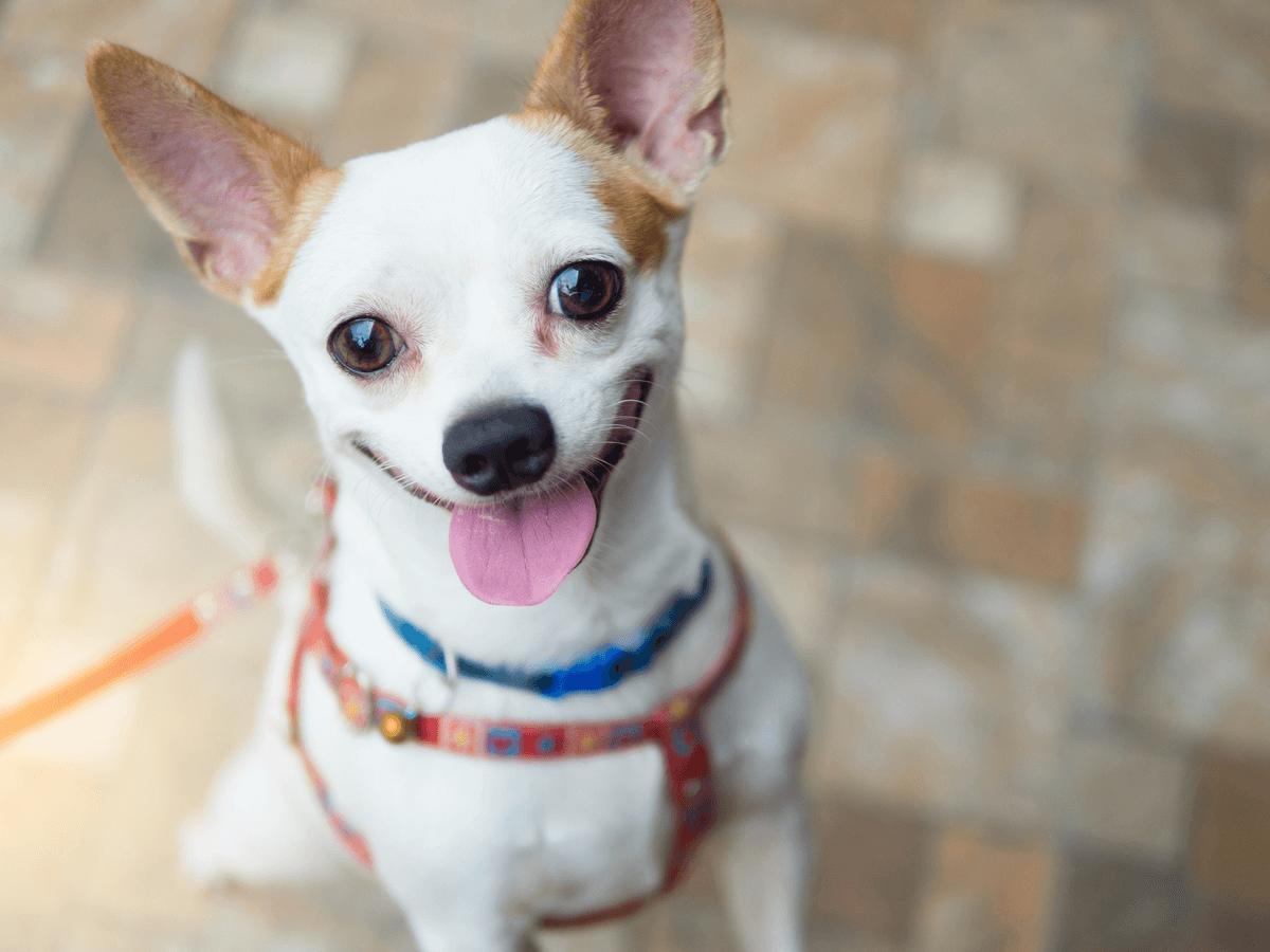 犬の生理の臭いはフェロモンだった!生理中の対処法や注意点についてもっと知りたい!