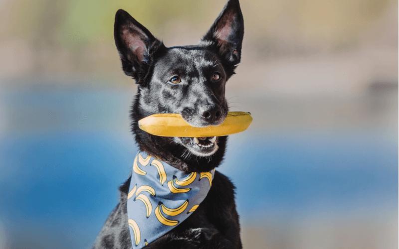 犬はバナナを食べても大丈夫?与える際の注意とおすすめの食べ方5選