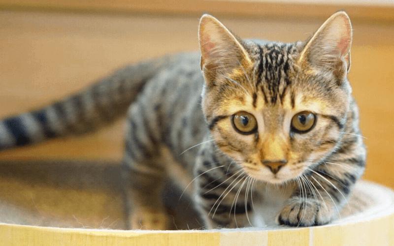 短足猫 ジェネッタ