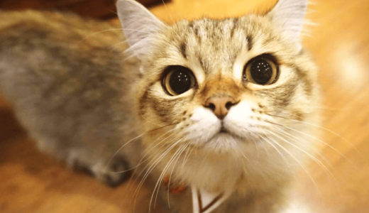 短足猫が可愛すぎる!短足猫専門「猫カフェもふにゃん」が日本初オープン!