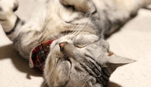 アメリカンショートヘアはどんな性格の猫?オスとメスで異なる?性格に合わせた飼い方を知ろう