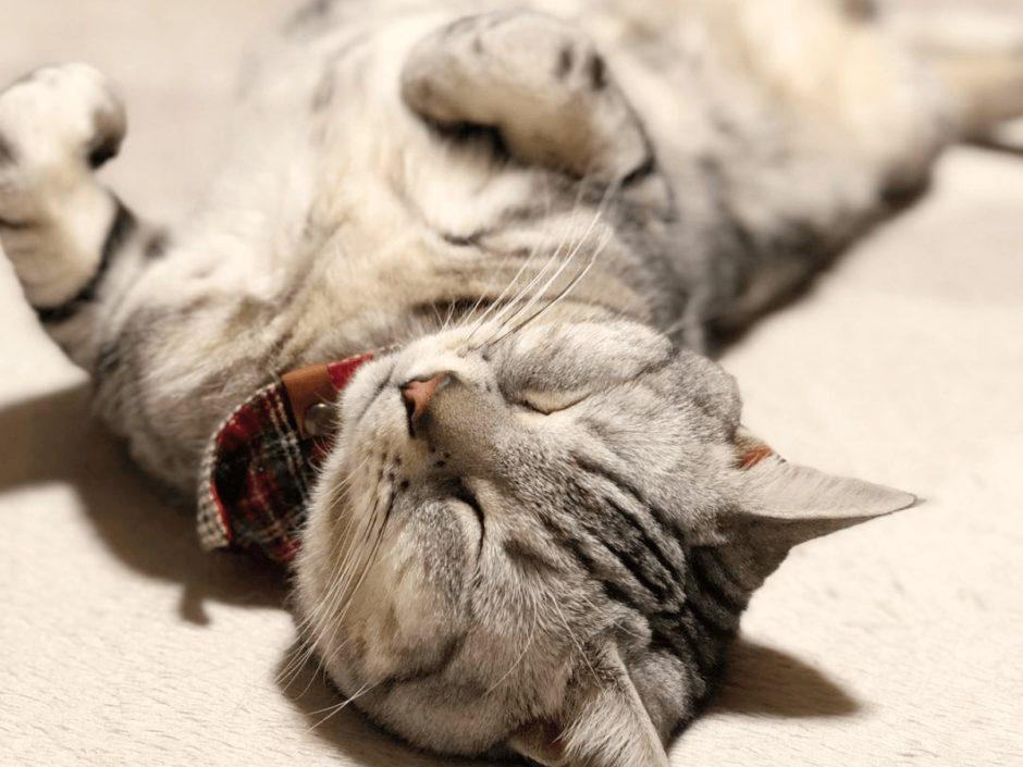 アメリカンショートヘアはどんな性格の猫なの?性格に合わせた飼い方を知ろう
