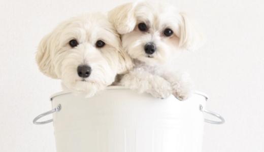 ミックス犬ランキングが変動!?可愛い10種とSNSで人気の「マリコロちゃん」をご紹介