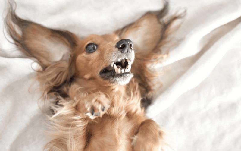 犬の耳掃除は必要?