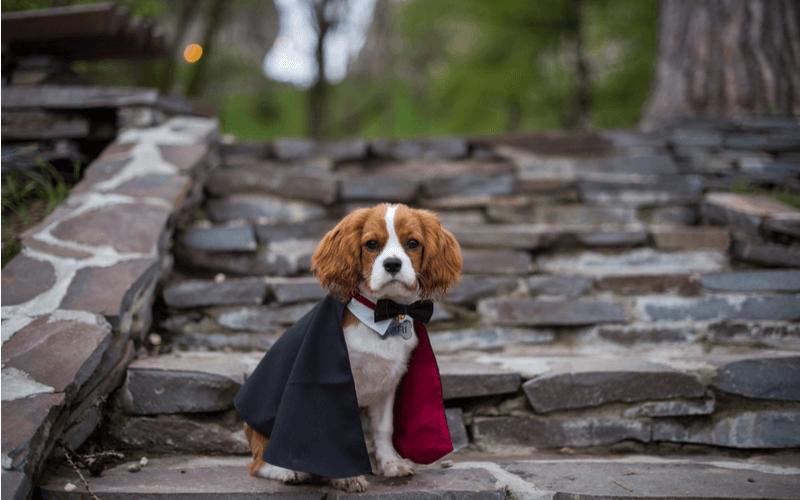 愛犬とハロウィンを満喫しよう!衣装やお菓子はどうしたらいい?