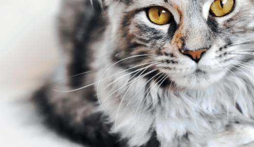 メインクーンは穏やかで優しい性格の猫!初めて飼う人にもおすすめな理由と飼育方法 穏やかな巨人という別名を持つ優しい