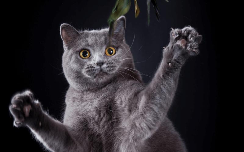 猫パンチで分かる猫の気持ち 遊びの気持ちか本気で怒っているか見極めよう