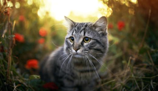 猫が家出をする理由があった!1週間の移動距離目安と帰ってくるための探し方のコツとは