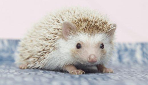 ハリネズミの寿命は最長3年?日本でペットとして飼うときの注意点と気になる値段とは