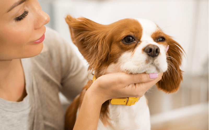 犬の耳掃除は病気予防になる?自宅でのケア方法と犬種別の注意点