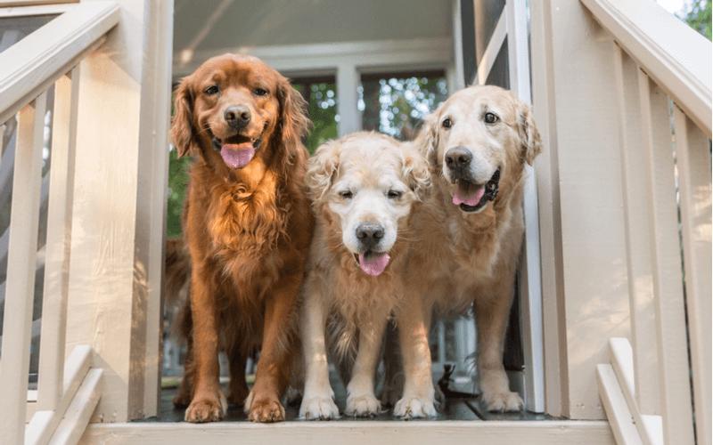 大型犬は意外と繊細!気を付けたい餌の与え方とおすすめドッグフードを紹介