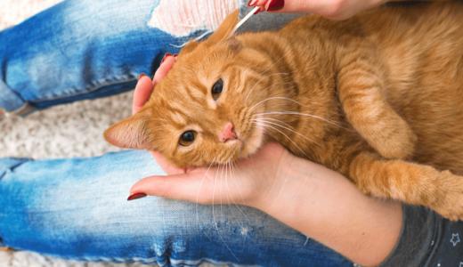 猫は耳掃除は必要?自宅でできるウェットティッシュや綿棒を使った手入れの仕方