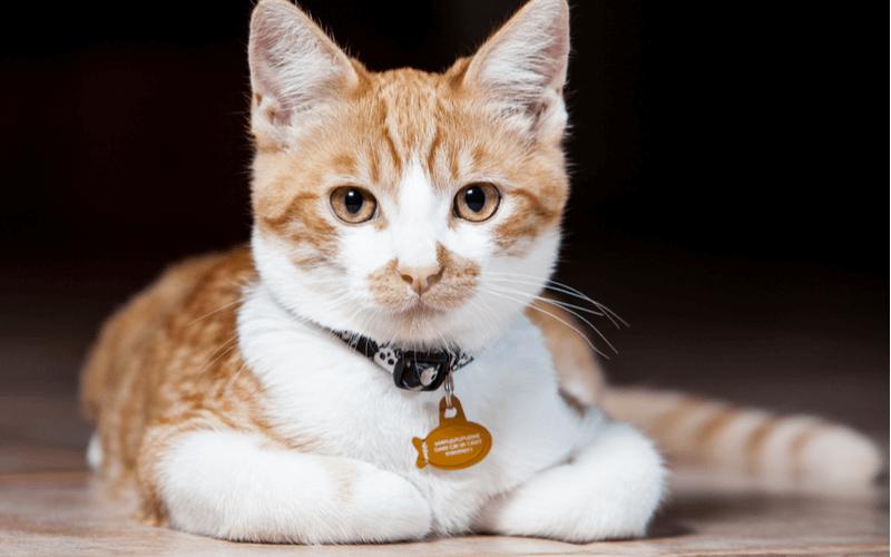 猫に首輪をつけたい!その注意点6つとおすすめの首輪5選