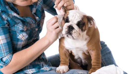 犬の耳掃除をする頻度は?洗浄液を使った効率的なやり方とは