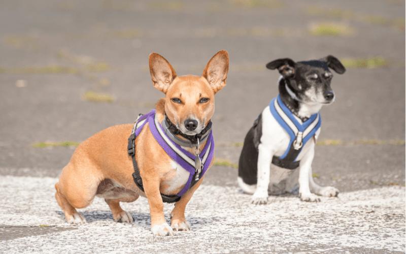 編集部が選ぶおすすめ犬用のハーネス10選!メリット・デメリットや選び方もご紹介