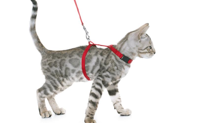 猫にハーネスは必要?メリット・デメリットから正しい選び方について