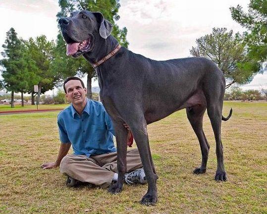 世界一大きい犬 ジャイアント・ジョージ