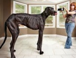 世界一大きい犬 zeus