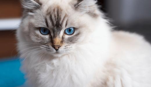 ラグドールはどんな性格の猫?特徴に合わせた飼育方法やかかりやすい病気を知ろう
