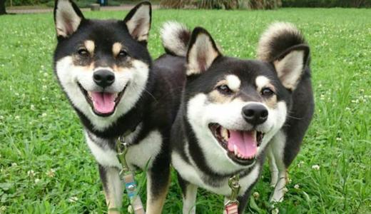 犬の多頭飼いは相性が悪いと喧嘩ばかり?先住犬への配慮やケージの使用法などポペットフレンズから学ぼう!