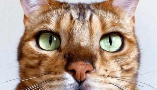 ベンガルの性格は見た目とは裏腹!?美しい模様が特徴でクールな印象を持たれる猫の実態とは