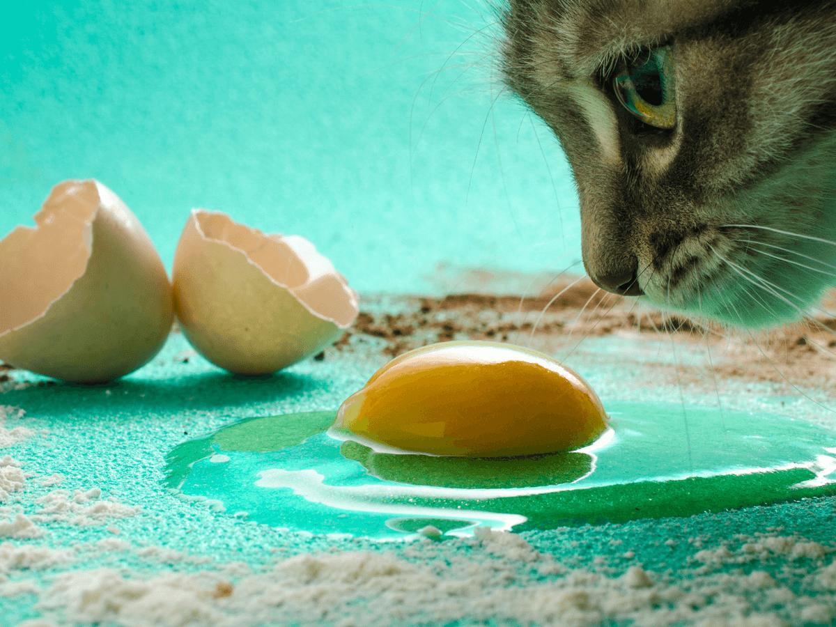 生卵を見る猫