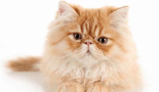 ペルシャ猫はどんな性格?3つの基本が王様の品格が漂っている証!?