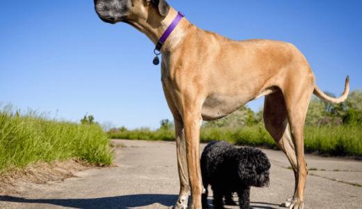 世界一大きい犬の品種はグレート・デーン!?ギネス記録保持犬の画像とランキング常連犬種5選