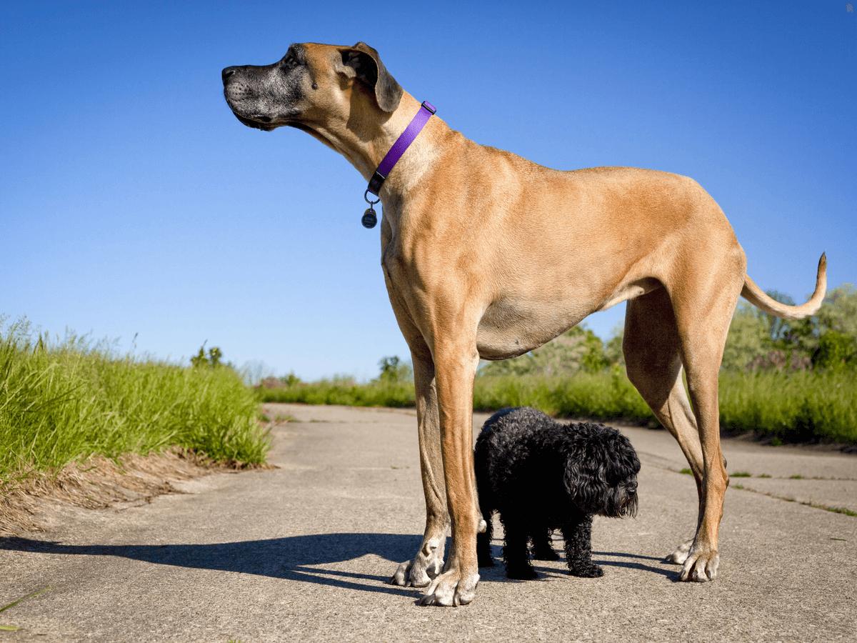 世界一大きい犬