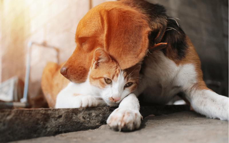 ビーグル 猫