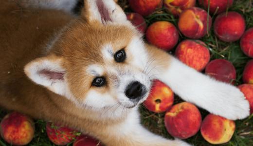 犬は桃を食べられる?栄養豊富な果物から得られる4つのメリットとは