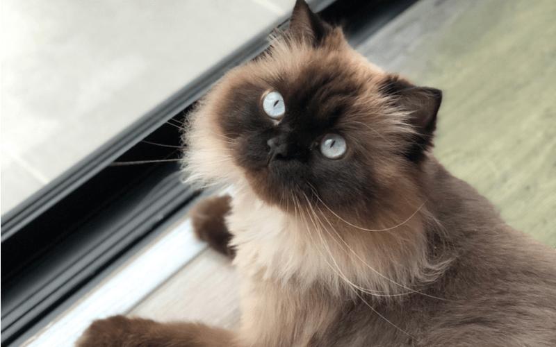 王様の品格が漂うペルシャ猫はどんな性格?