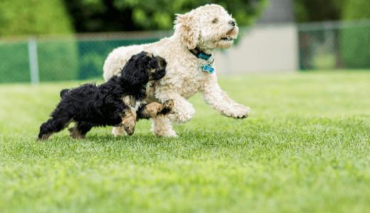 小型犬の種類はどの子が人気?特徴から見るおすすめ犬種をチェックしよう!