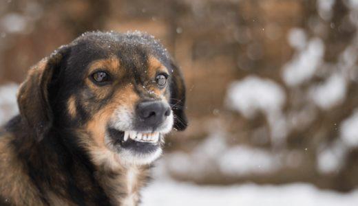 犬が低く唸る理由とは?噛ませないしつけの方法やコツを紹介