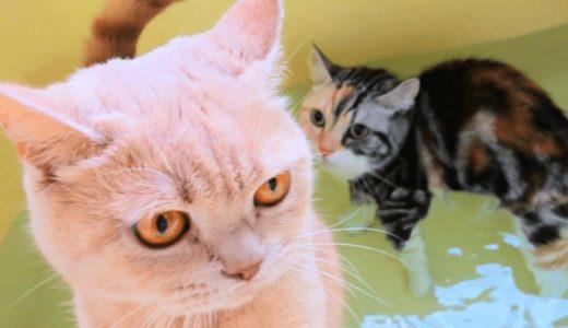 愛猫がお風呂嫌いに!治すための上手な入れ方とは?