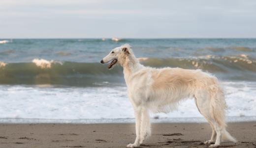 ボルゾイはスレンダーで優雅な美人犬!ブリーダーや飼うときの注意点をご紹介