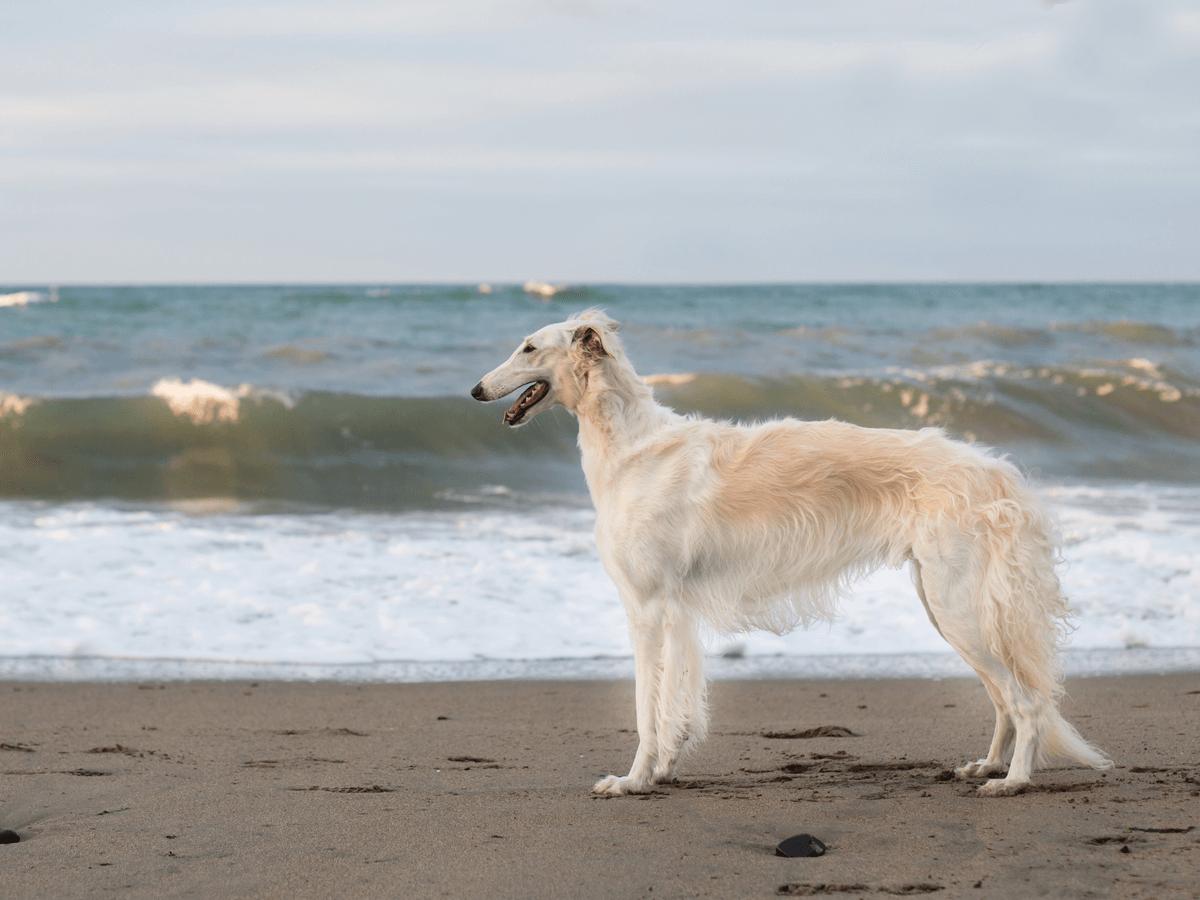 ボルゾイ 犬