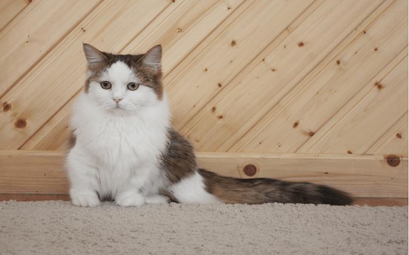 ナポレオン 猫