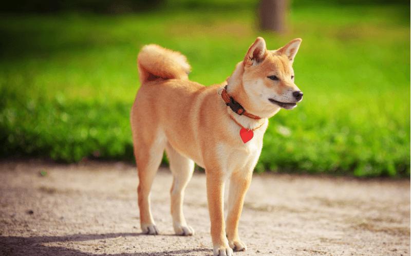 きつね顔の柴犬