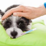犬 体温計